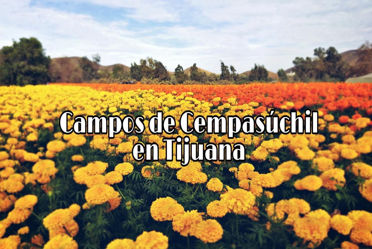 Cempasúchil, la flor de losmuertos